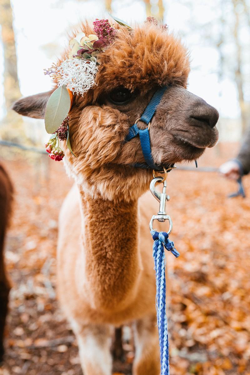 Wedding Circus mit Alpaka mit Blumenkranz